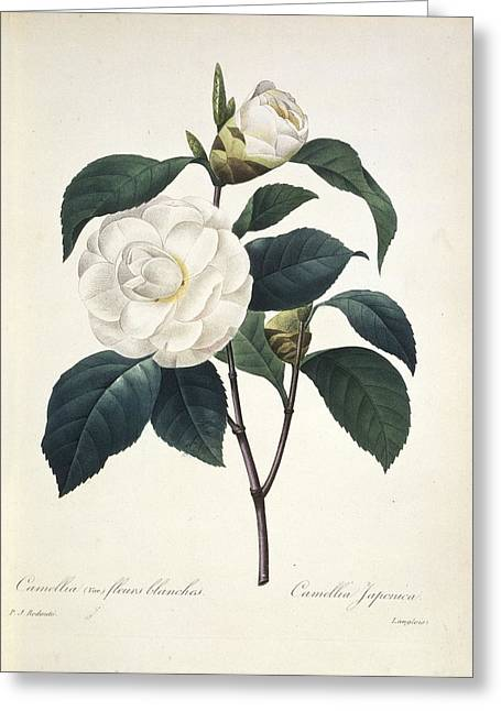 Camellia Japonica, 19th Century Greeting Card by Science Photo Library
