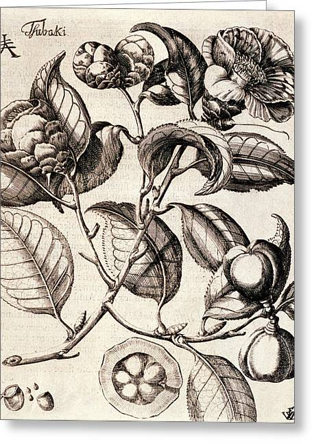 Camellia Japonica Flowers Greeting Card by Natural History Museum, London