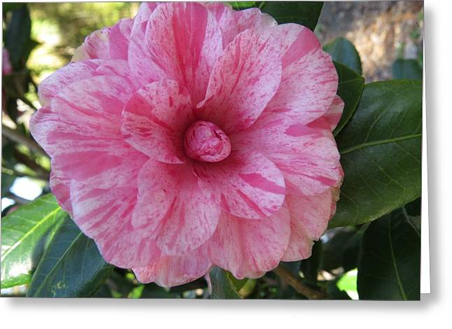 Camellia Japonica II Greeting Card