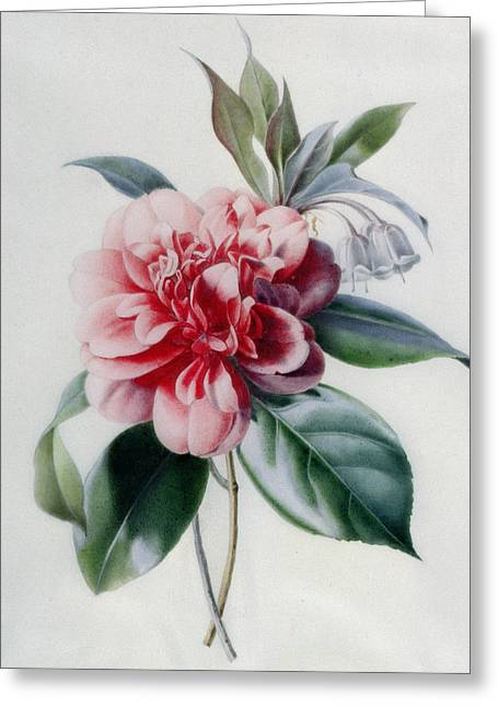 Camellia Greeting Card by Marie-Anne