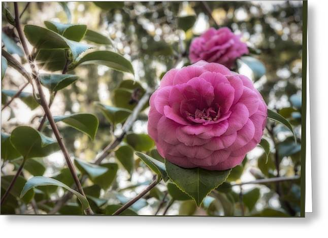 Camellia Sparkle Greeting Card by Loree Johnson
