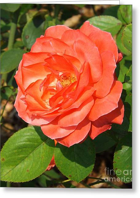 Camelot Rose Greeting Card by Sara  Raber