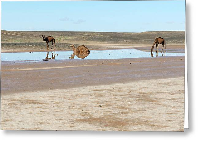 Camels And Drying Saharan Lake Greeting Card by Thierry Berrod, Mona Lisa Production