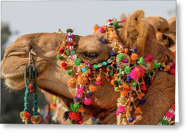 Camels (dromedary Greeting Card by Tom Norring