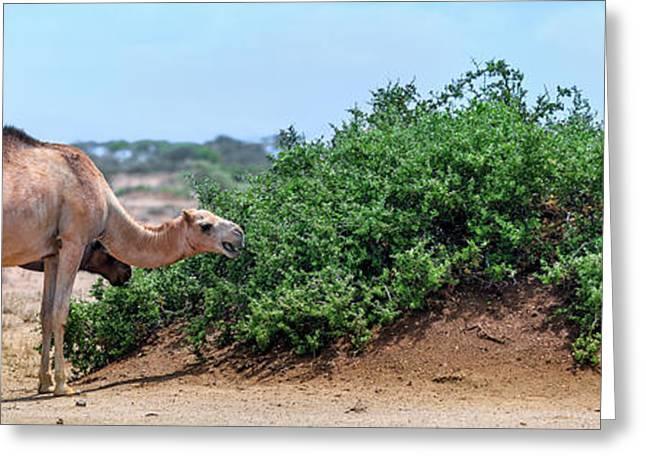 Camels Eating Salt Cedar Greeting Card by Babak Tafreshi