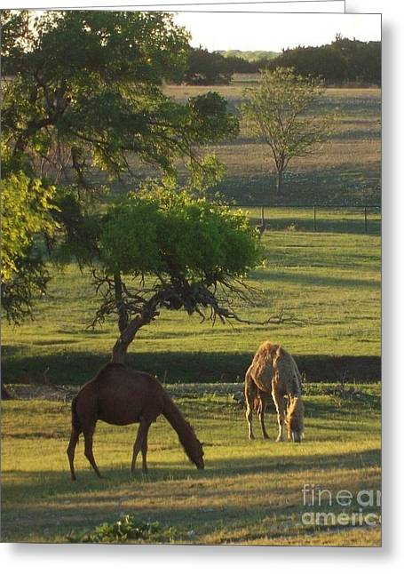 Camels Grazing Greeting Card by Susan Williams