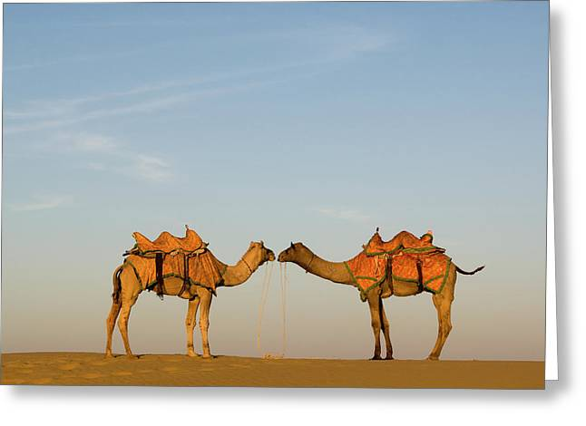 Camels Stand Face To Face In The Thar Greeting Card
