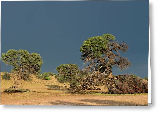 Camelthorn Trees In The Auob Riverbed Greeting Card