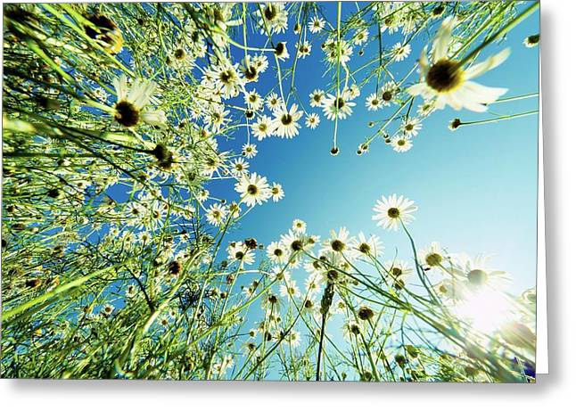 Camomile Flowers Greeting Card