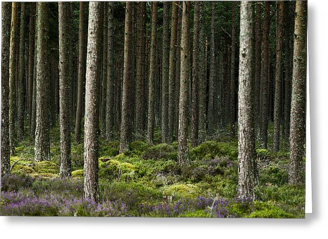 Camore Wood Scotland Greeting Card