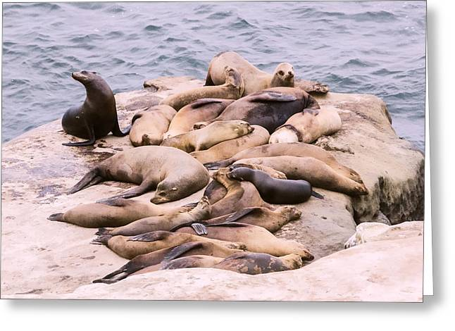 Camouflage Sea Lions Greeting Card