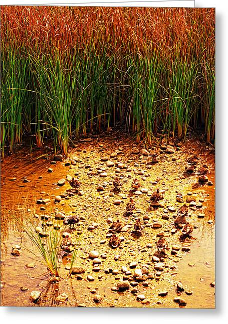 Camouflaged Ducks Greeting Card by Ron Regalado