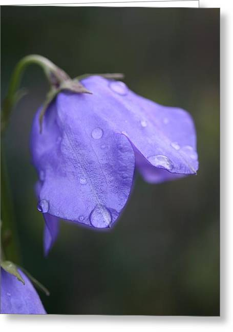 Campanula After The Rain Greeting Card by Mark Severn