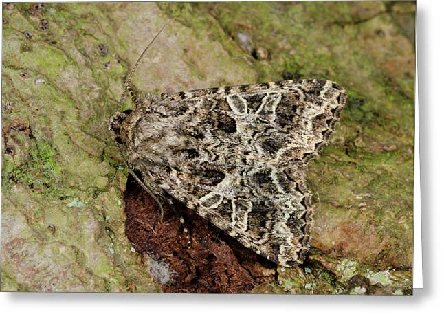 Campion Moth Greeting Card