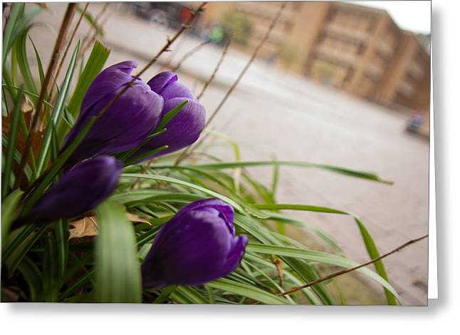 Greeting Card featuring the photograph Campus Crocus by Erin Kohlenberg