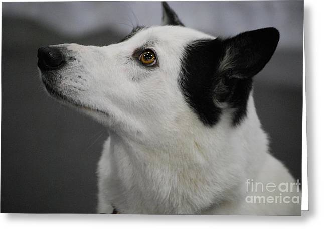 Canaan Dog Greeting Card