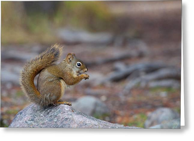 Canada, Alberta A Douglas Squirrel Greeting Card