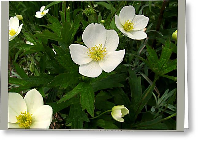 Canada Anemone - Anemone Canadensis - 11jn26 Greeting Card by Robert G Mears