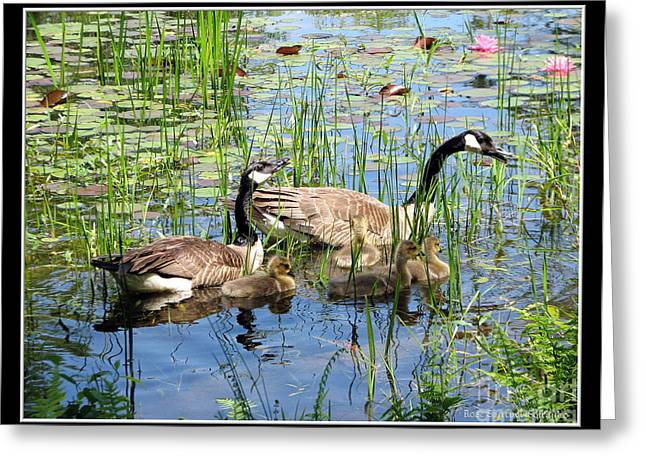 Canada Geese Family On Lily Pond Greeting Card by Rose Santuci-Sofranko