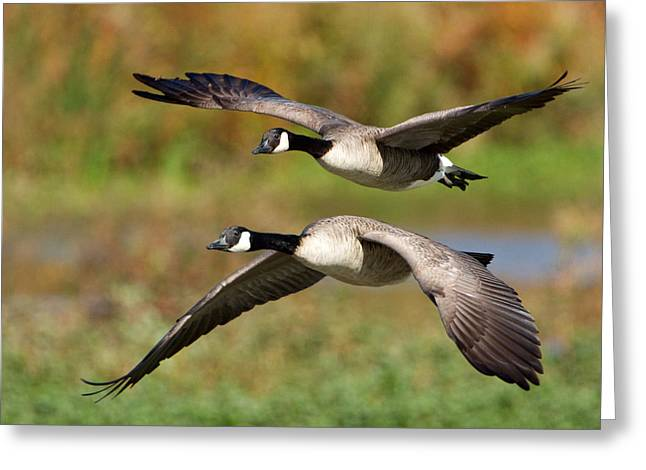 Canada Geese Flying Greeting Card
