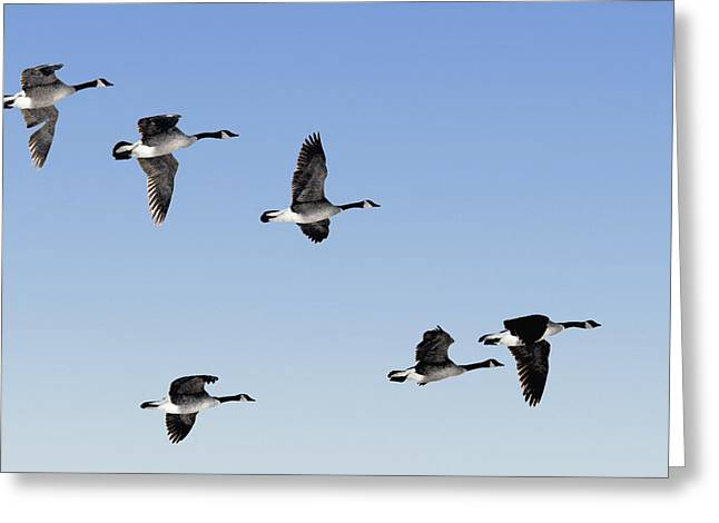 Canada Geese In Flight, Algonquin Park Greeting Card by Doug Hamilton