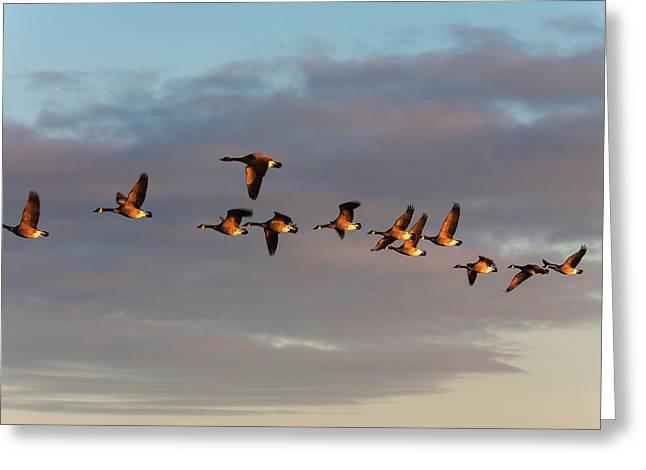 Canada Geese In Flight  Manitoba, Canada Greeting Card by Carl Bruemmer