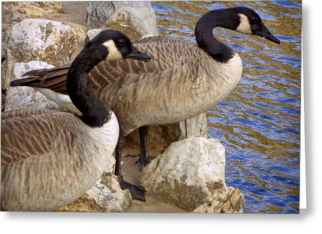 Greeting Card featuring the photograph Canada Geese by Joseph Skompski