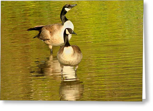 Greeting Card featuring the photograph Canada Geese Pair by Bob and Jan Shriner