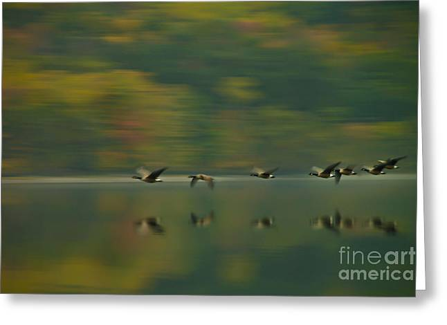 Canada Geese Whoosh Greeting Card by Steve Clough