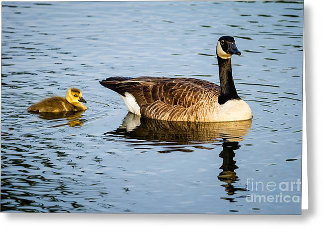 Canada Goose And Gosling Greeting Card by Dawna  Moore Photography