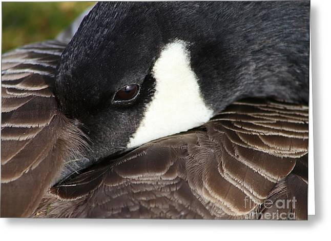 Canada Goose At Rest Greeting Card by Sue Harper