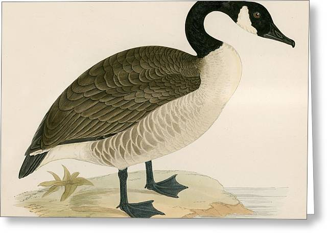 Canada Goose Greeting Card by Beverley R Morris