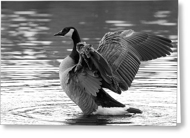 Canada Goose Black And White Greeting Card by Sharon Talson