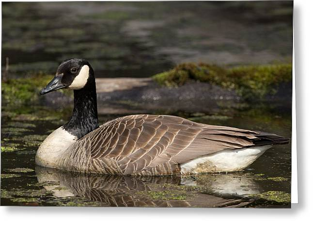 Canada Goose Greeting Card by Brian Magnier