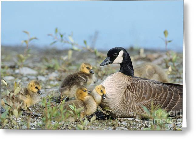 Canada Goose Family Greeting Card by Mark Newman