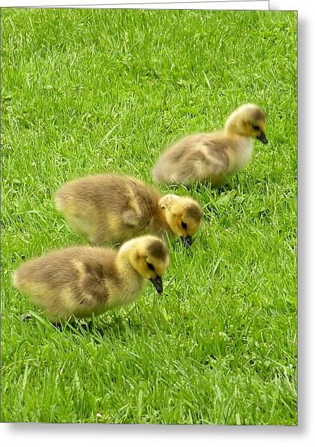 Canada Goose Goslings Greeting Card