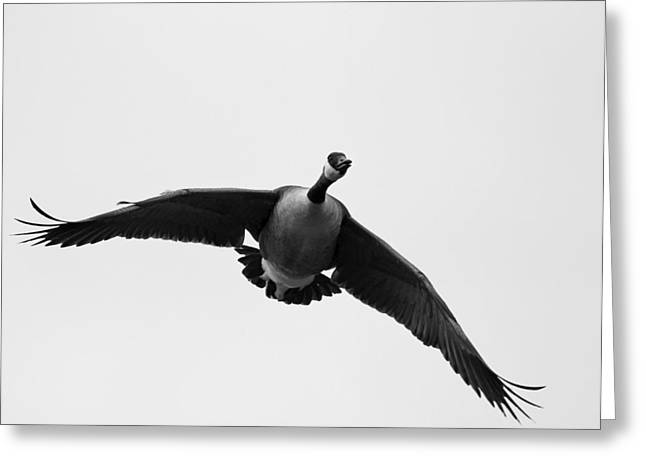 Canada Goose In Black And White Greeting Card by Brian Magnier