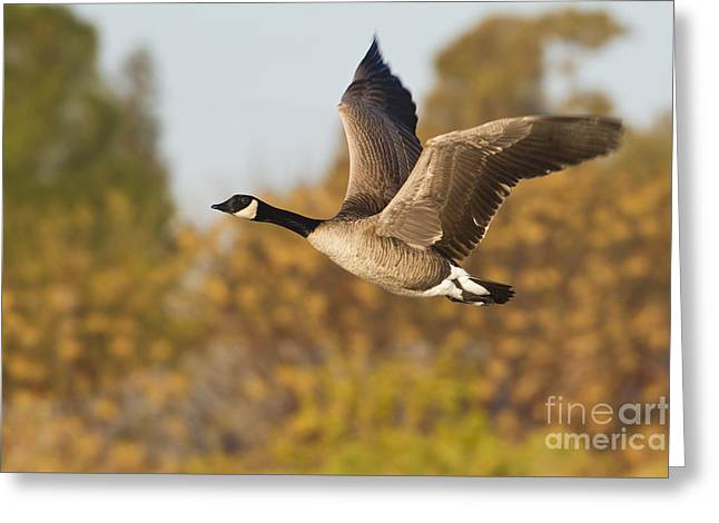 Canada Goose In The Skies  Greeting Card