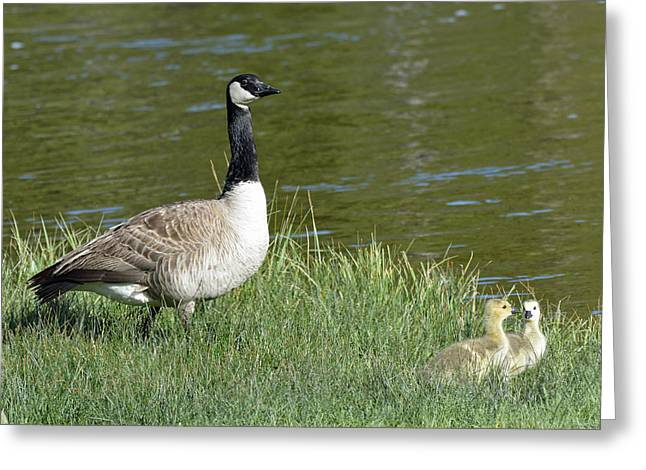 Canada Goose Mom With Goslings Greeting Card by Bruce Gourley
