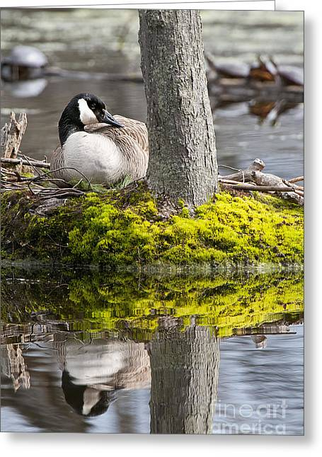 Canada Goose On Nest Greeting Card