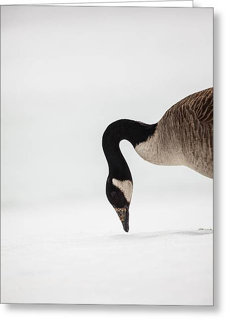 Canada Goose Point Greeting Card by Karol Livote