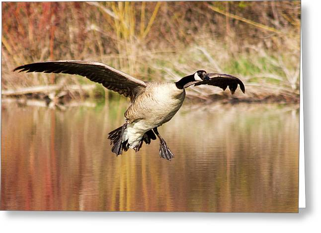 Canada Goose Prepares To Land In Small Greeting Card by Chuck Haney