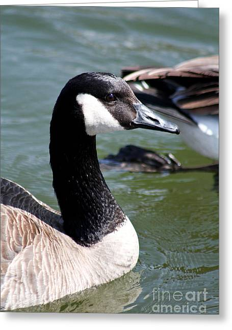 Canada Goose Profile Greeting Card by Anita Oakley