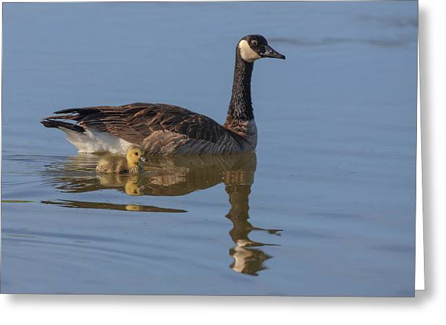 Canada Goose With Chick Greeting Card by Tom Norring
