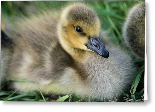 Canada Gosling Greeting Card
