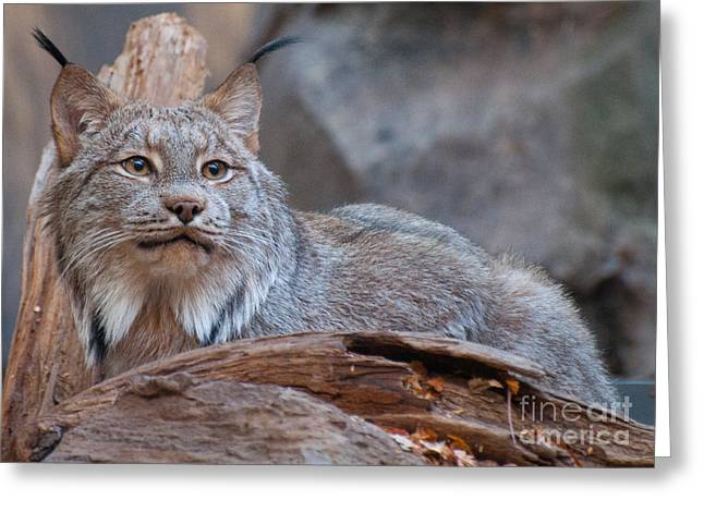 Canada Lynx Greeting Card