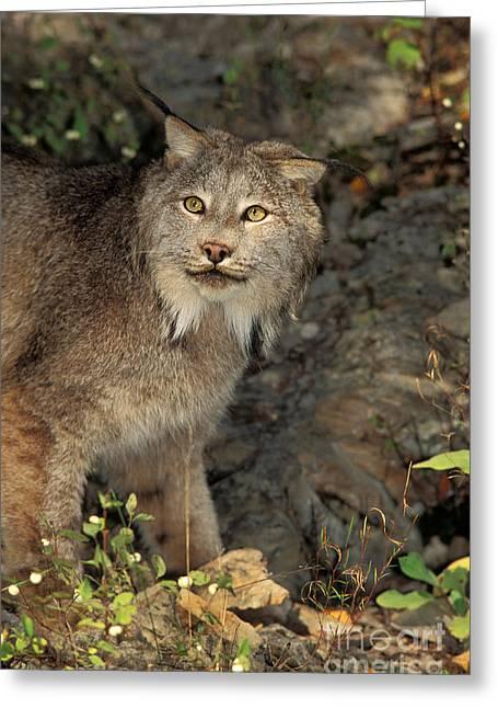 Canada Lynx Lynx Canadensis Greeting Card by Ron Sanford