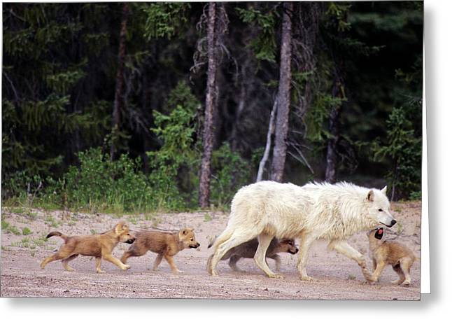 Canada, Northwest Territories, Great Greeting Card by Jaynes Gallery