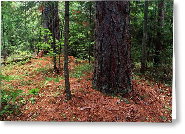 Canada, Ontario, Temagami, Old Growth Greeting Card by Jaynes Gallery