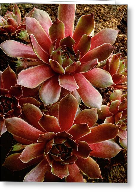 Canada Succulent Plant Close-up Credit Greeting Card by Jaynes Gallery